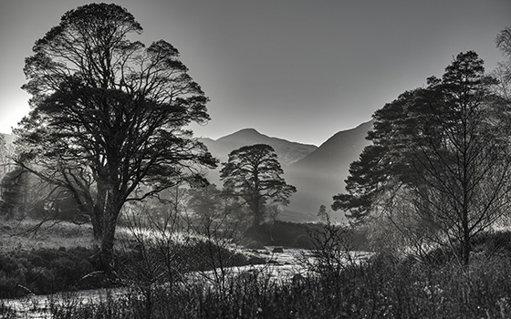 Pines on the A' Ghairbhe